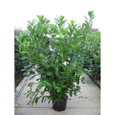 Prunus Laurocerasus Laurier Rotundifolia