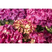 Hydrangea macr. Red Angel® Purple