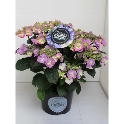 Hydrangea macr. Blueberry Cheesecake®