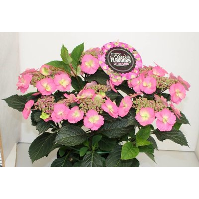 Hydrangea macr. Cotton Candy®
