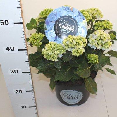 Hydrangea macr. Minty Ice®