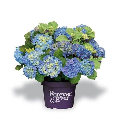 Hydrangea macr. Forever & Ever Blue