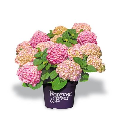 Hydrangea macr. Forever & Ever Pink