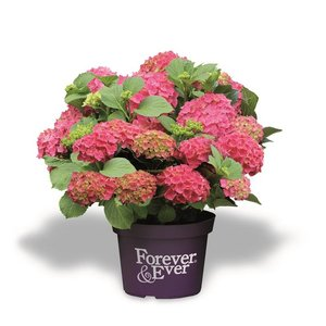 Hydrangea macr. Forever & Ever Red