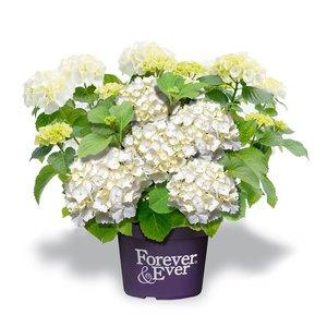 Hydrangea macr. Forever & Ever White