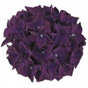 Hydrangea macr. Deep Purple Dance®