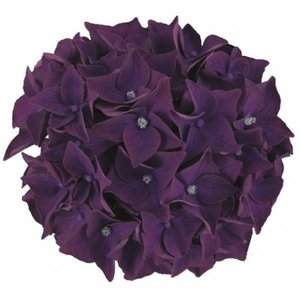 Hydrangea macr. Deep Purple Dance®
