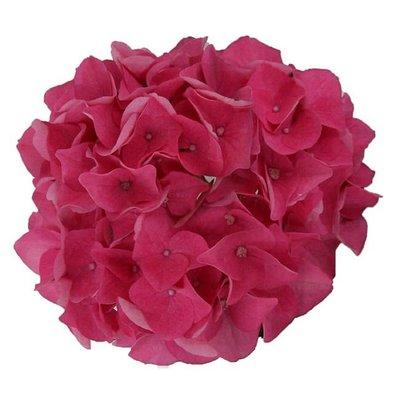 Hydrangea macr. Pink Pop®