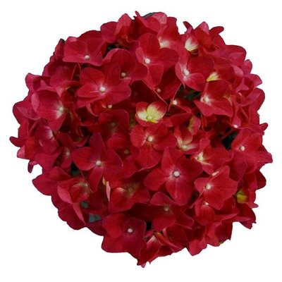 Hydrangea macr. Red Reggae®