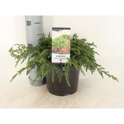 Juniperus hor. IceeBlue ®