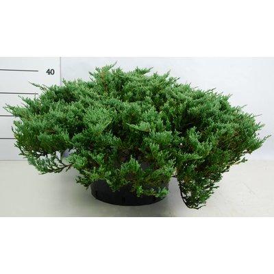 Juniperus hor.Blue Chip
