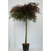 Acer Palmatum Inaba Shidare op stam
