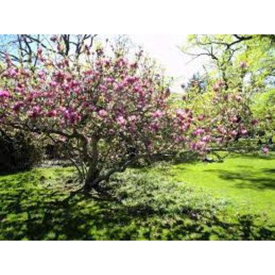 Magnolia Soulangeana OUTLET