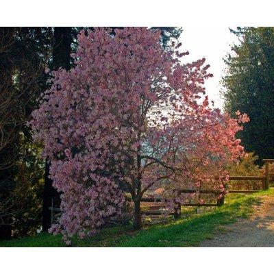Magnolia stel. 'Rosea'