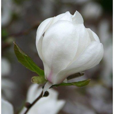 Magnolia loeb. 'Merrill'