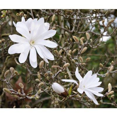Magnolia stellata 'Royal Star' (Stermagnolia)