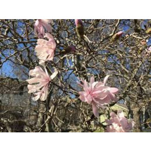 Magnolia stel Chrysanthemiflora
