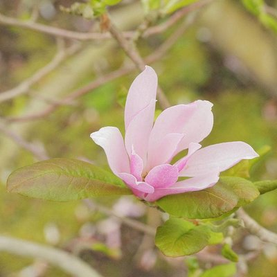 Magnolia loebneri 'Leonard Messel' (Beverboom)