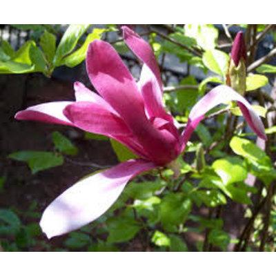 Magnolia liliiflora 'Nigra' (Beverboom)