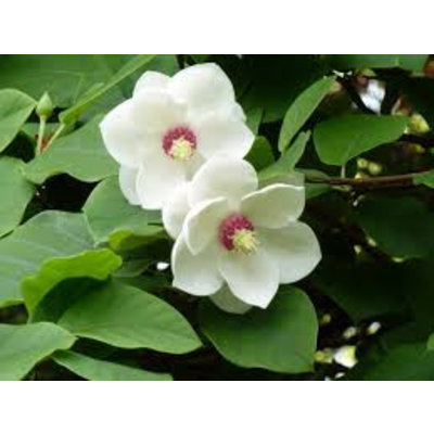 Magnolia Sieboldie
