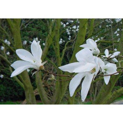 Magnolia Wada's Memory