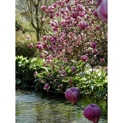 Magnolia soul. 'Lennei'