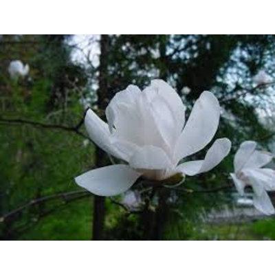 Magnolia loeb. Wildcat