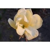 Magnolia Golden Gift