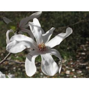 Magnolia loebneri 'Snowdrift' (Beverboom)