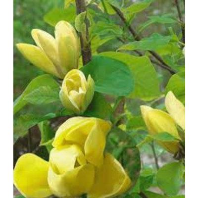 Magnolia Yellow Bird