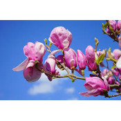 Magnolia Sentinel