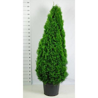 Thuja occidentalis 'Smaragd'