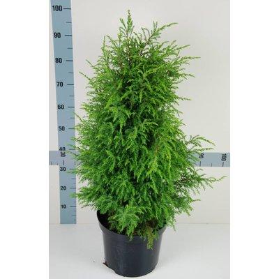 Juniperus comm. 'Hibernica'