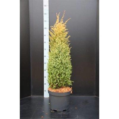 Juniperus comm. 'Gold Cone'