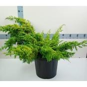 Juniperus chin. 'Plum. Aurea'