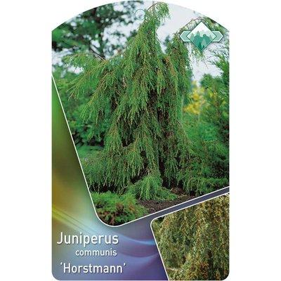 Juniperus comm. 'Horstmann'