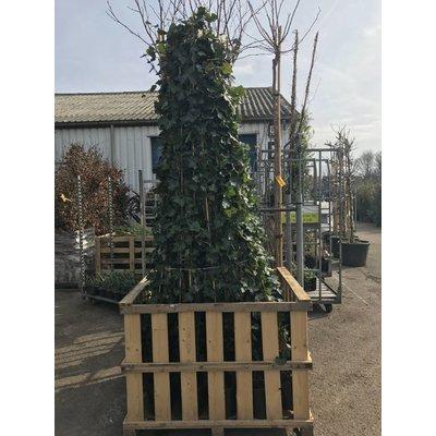 Hedera Hibernica 215 cm