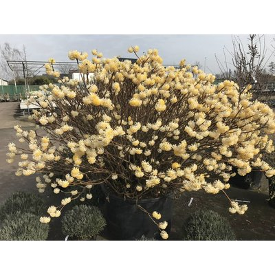 Edgeworthia chrys. 'Grandiflora'