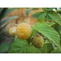 Rubus ideaus 'Fallgold' (Framboos)
