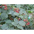 Rubus Thornfree Evergreen (Doornloze Braam)