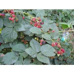Rubus Thornfree Evergreen (Doornloze Braam)