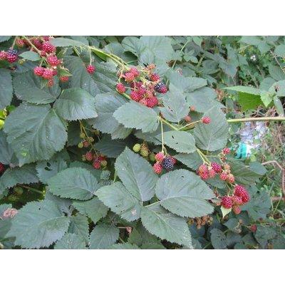 Rubus Thornfree Evergreen (Doornloze Braam) - Copy