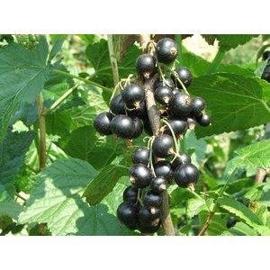 Ribes nigrum 'Titania'