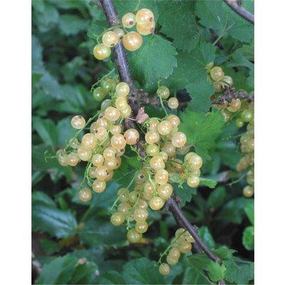 Ribes rubrum 'Witte Parel'