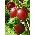 Ribes uva-crispa 'Hinnonmäki Röd' (Kruisbes)
