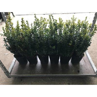 Buxus Struik 30-40cm