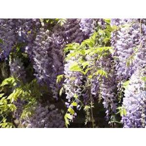 Wisteria floribunda 'Issai-naga'