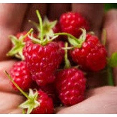 Rubus ideaus 'Heritage' (Framboos)