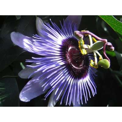 Passiflora 'Purple Haze'