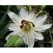 Passiflora 'Constance Eliott'